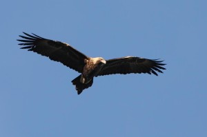 Wedge-tailed-Eagle-X7P0105 2